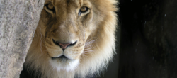 This is an image of a lion.