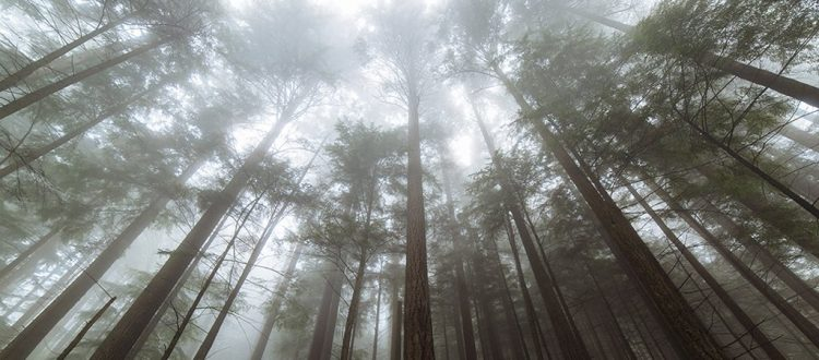 Tall trees in the forest.